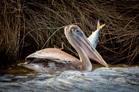 Pelican's Big Catch