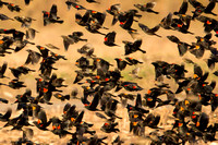 Red Winged Black Birds
