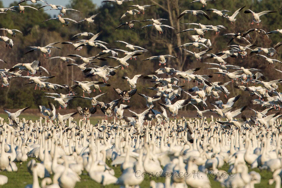 Snow Geese Flock to Field of Tundra Swan